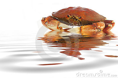 Cooked Dungeness crab in water