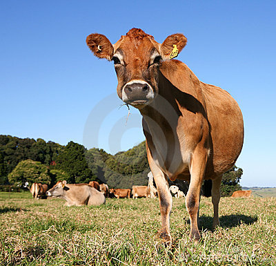 Free Cool Cow Stock Image - 843711