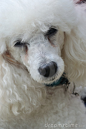 Free Cool Poodle Dog Stock Photography - 17433832