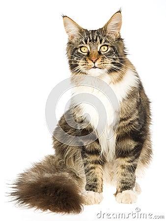 όμορφη γάτα coon Maine