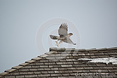 Cooper s Hawk Taking Off from a Roof