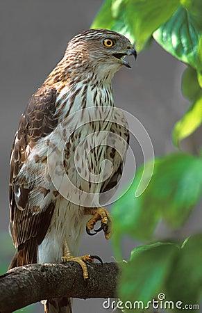 Coopers Hawk (Accipiter cooperii)