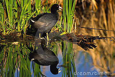 Coot and Cattails Reflected in Pond