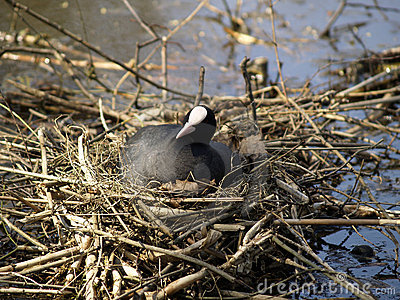 Coot on her nest