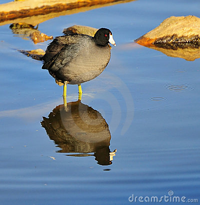 Coot reflection