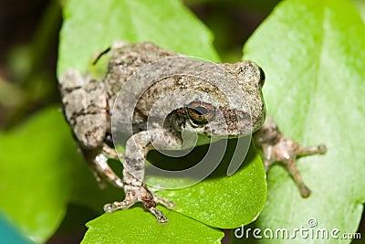 Cope s Gray Tree frog