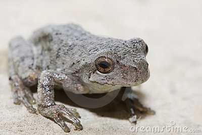 Cope s Gray Tree Frog
