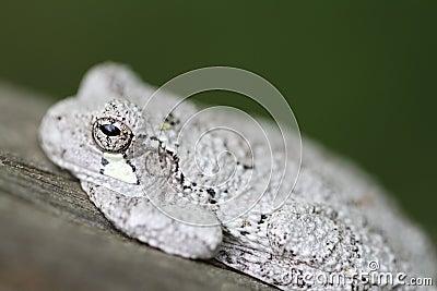 Cope s Tree Frog