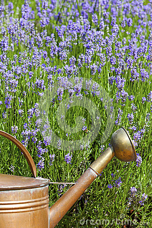 Copper Watering Can in front of lavender in summer