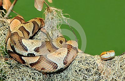 Copperhead Snake Coiled on Tree Limb