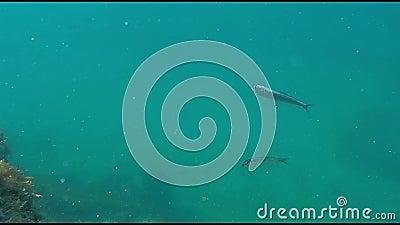 Coppia di pesci in mare archivi video