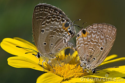 Copulating butterflies