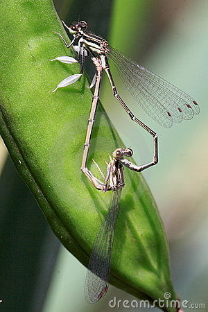 Copulating damselflies