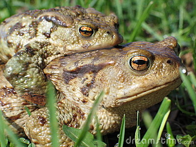 Copulating toads