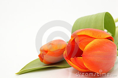 Copyspace tulip