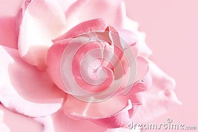 A cor-de-rosa delicada levantou-se