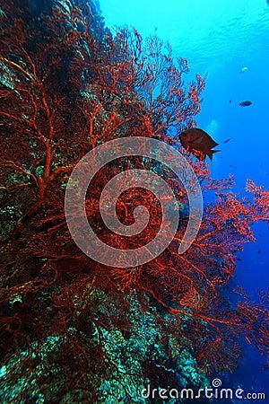 Corak reef