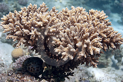 Coral bush