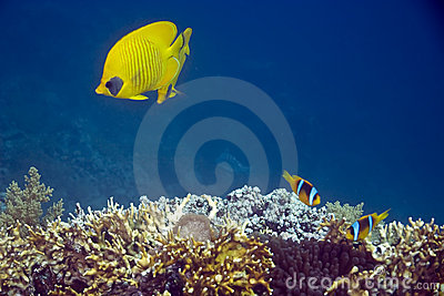 Coral and butterflyfish