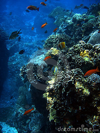 Free Coral Colony And Coral Fish. Stock Image - 3358051