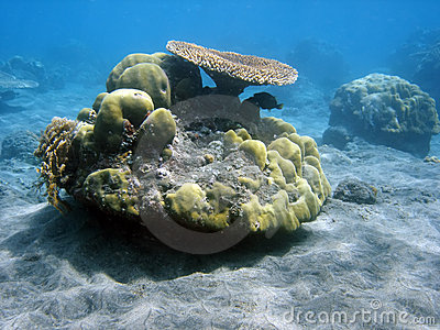 Coral colony and coral fish.