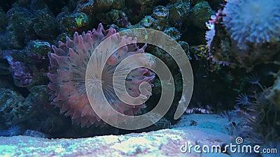 Coral da placa com os tentáculos roxos das pontas das bolhas filme
