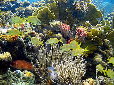 Coral and  fish in Caribbean sea