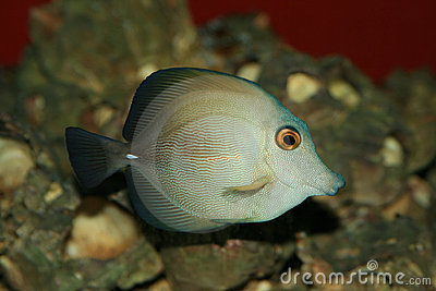 A Coral Fish In The Red Sea Royalty Free Stock Photos - Image: 1746058