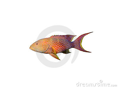Coral grouper fish on white