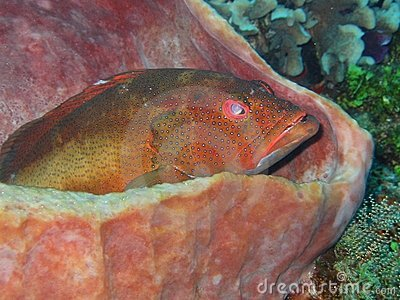 Coral Grouper Sitting In A Sponge Stock Images - Image: 8925934