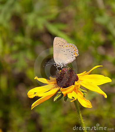 Coral Hairstreak on Black-eyed Susan