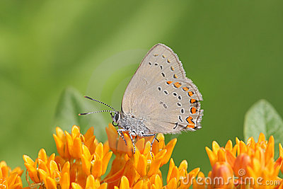 Coral Hairstreak Butterfly