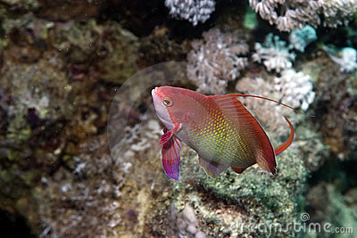 Coral and lyretail anthias