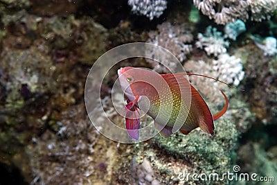 Coral and lyretail anthias