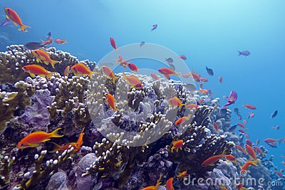 Coral reef with exotic fishes anthias at the bottom of tropical sea