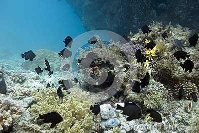 Coral reef with exotic fishes dascyllus