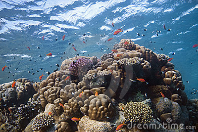 Coral-Reef with fishes around