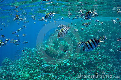 Coral reef and fishes at the Red Sea