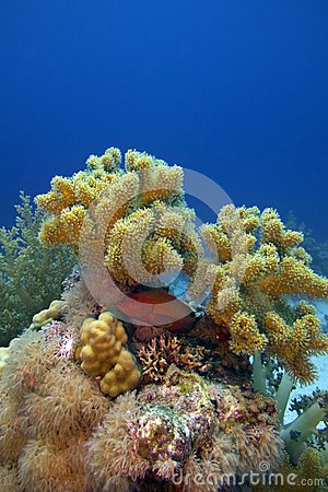 Coral reef with great soft coral and blue-spotted