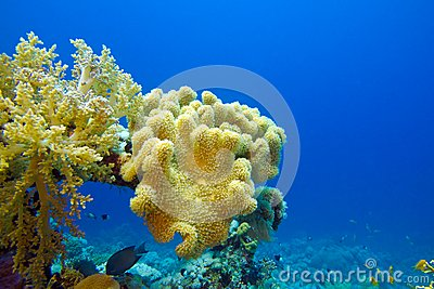 Coral reef with great soft coral on the bottom of tropical sea
