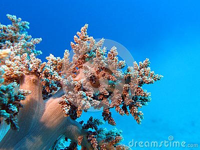 Coral reef with great soft coral at the bottom of tropical sea