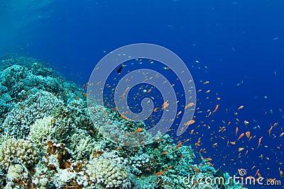 Coral reef with lyretail anthias