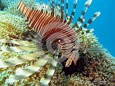 Coral reef in red sea with lionfish