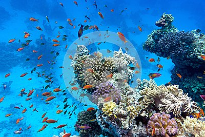 Coral reef with soft and hard corals with exotic fishes anthias on the bottom of tropical sea  on blue water background