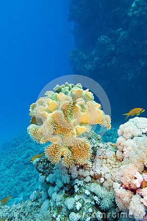 Free Coral Reef With Great Yellow Soft Coral In Tropical Sea On Blue Water Background Stock Photography - 40880442