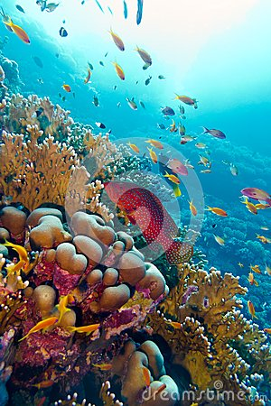 Free Coral Reef With Red Exotic Fish Cephalopholis At The Bottom Of Tropical Sea Royalty Free Stock Image - 29921346