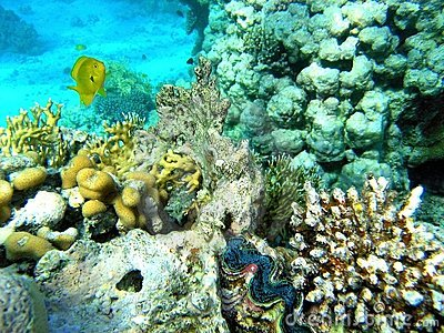 Coral scene withe the Giant clam