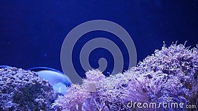 Coralli Molli In Acquario Coralli Del Primo Piano Anthelia E Di