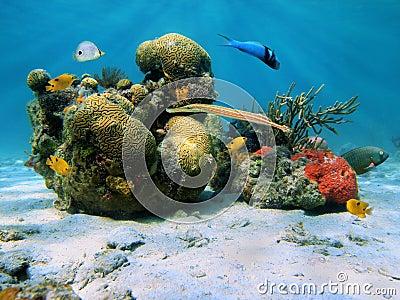 Corals in the caribbean sea