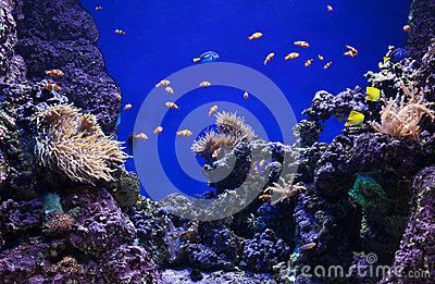 Corals and clown fishes